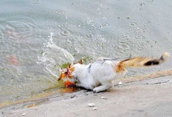 cat-catching-goldfish (4)