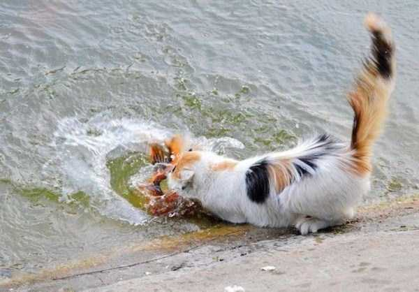 cat-catching-goldfish (5)