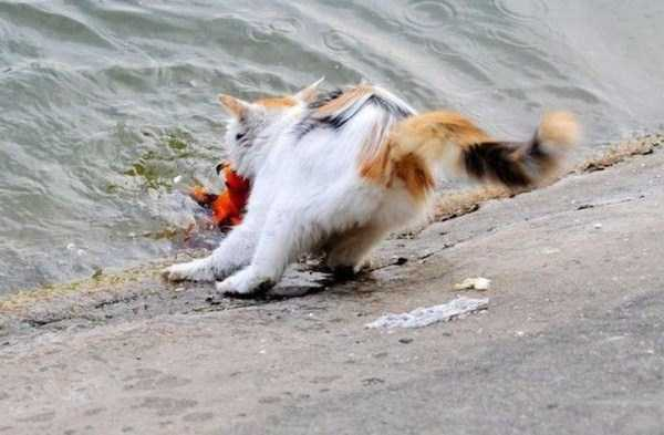 cat-catching-goldfish (7)
