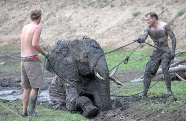 elephant-rescued-from-mud-pit (11)