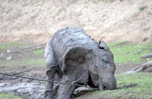elephant-rescued-from-mud-pit (12)