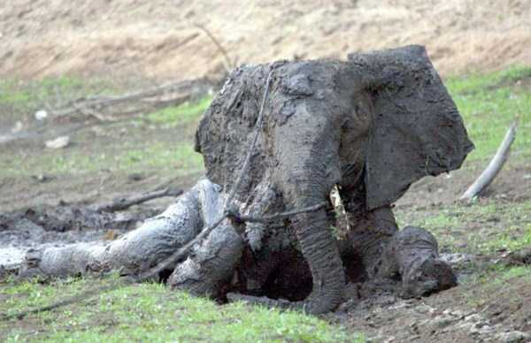 elephant-rescued-from-mud-pit (14)