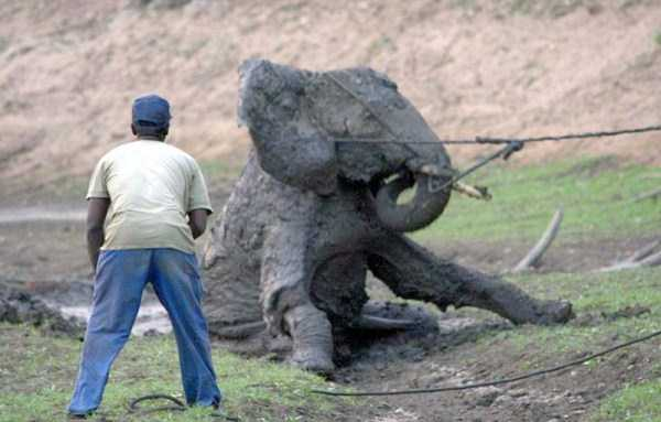 elephant-rescued-from-mud-pit (9)