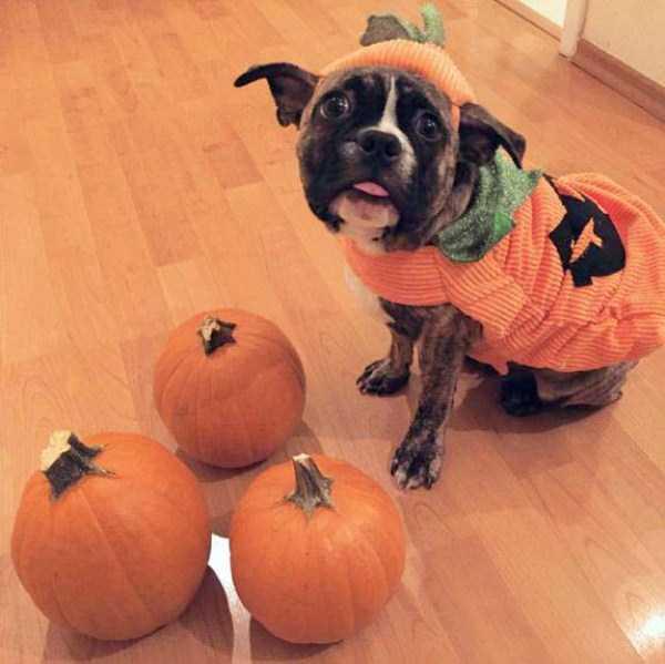 pets-in-halloween-costumes (7)