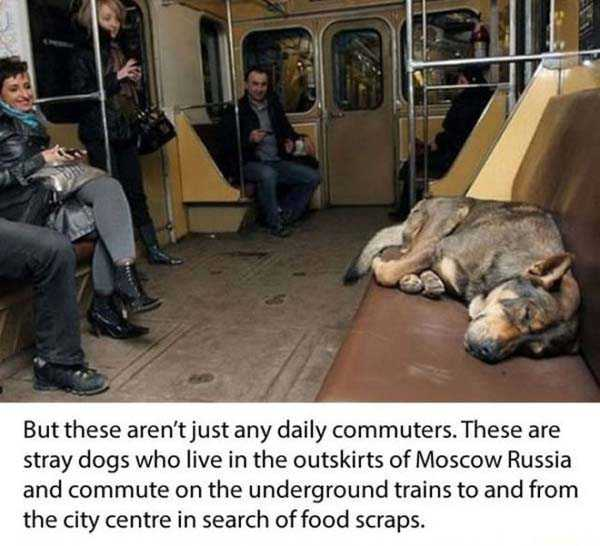 stray-dogs-moscow-metro (2)