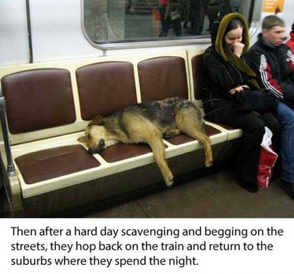 stray-dogs-moscow-metro (3)