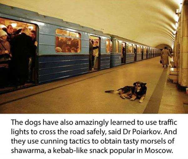 stray-dogs-moscow-metro (9)