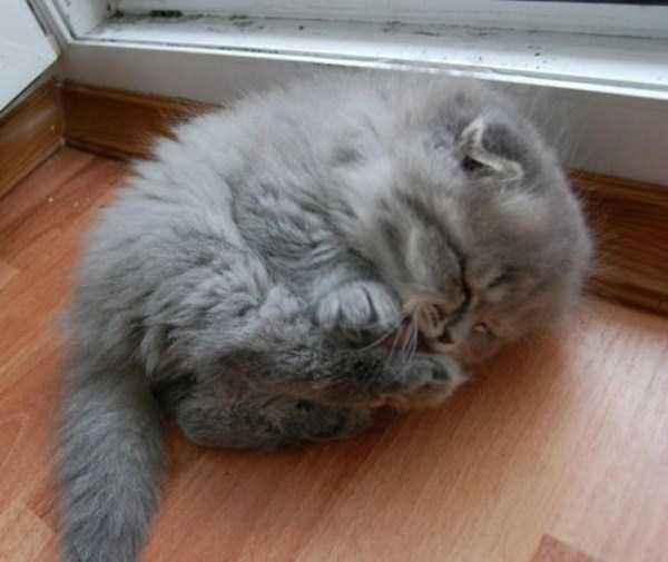fluffy-cats-kittens (20)