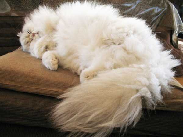 fluffy-cats-kittens (31)
