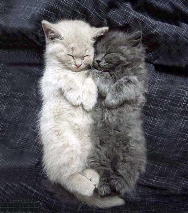 fluffy-cats-kittens (46)