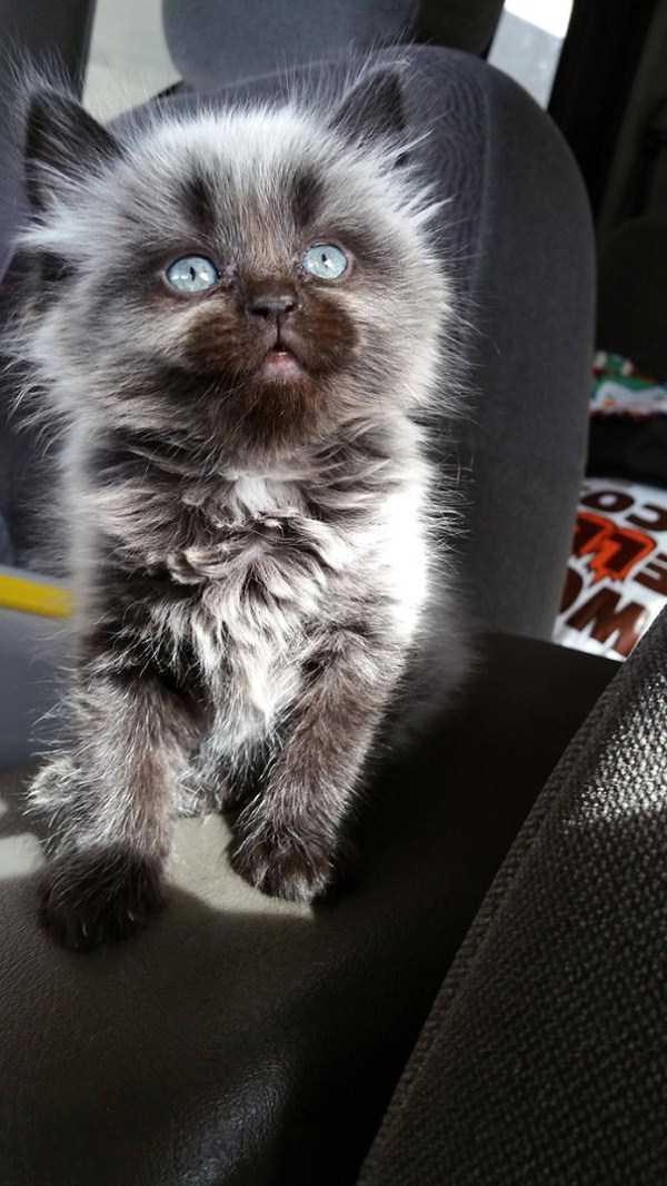 fluffy-cats-kittens (52)