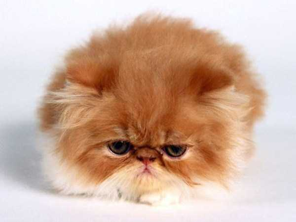 fluffy-cats-kittens (55)