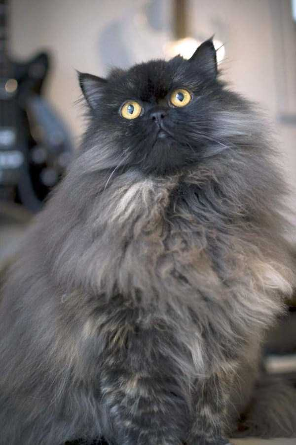 fluffy-cats-kittens (56)