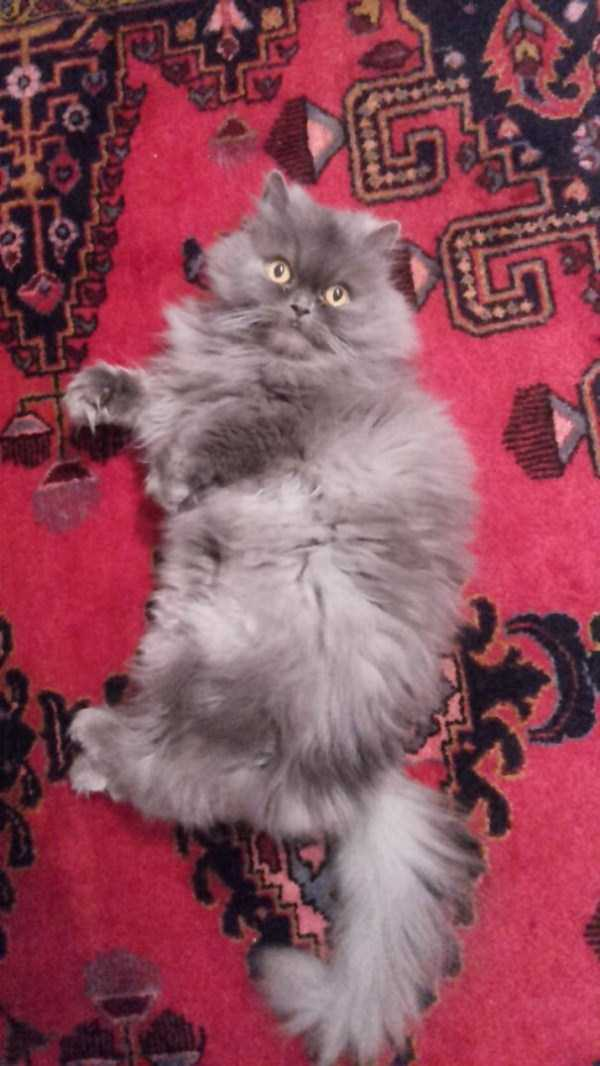 fluffy-cats-kittens (62)