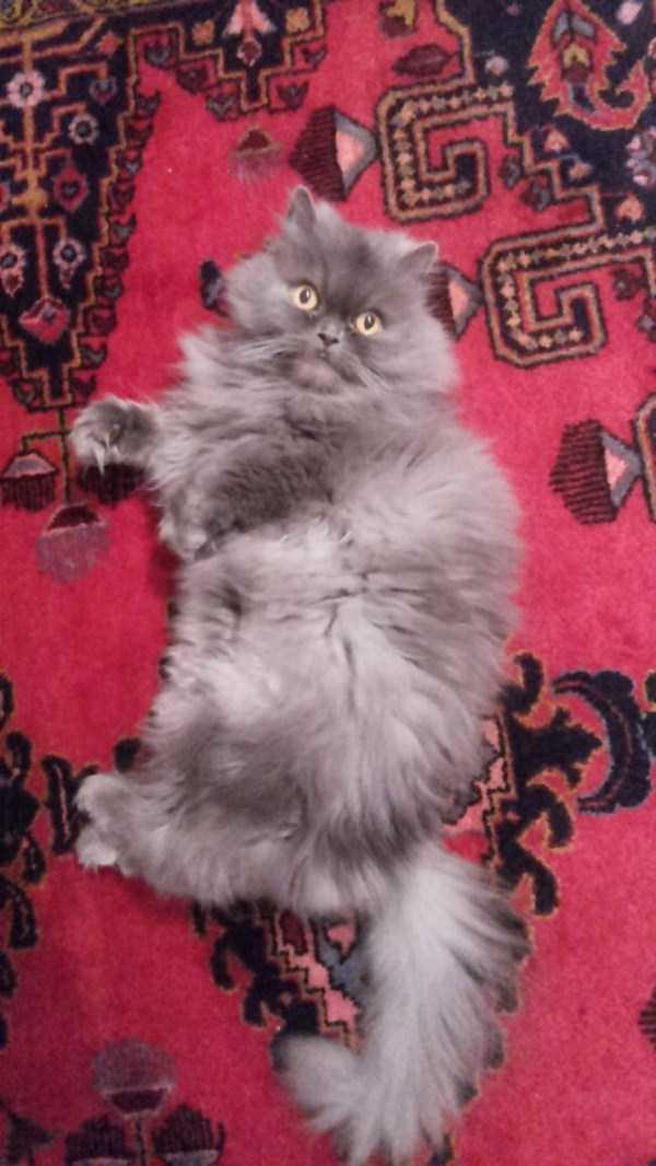 fluffy-cats-kittens (62)
