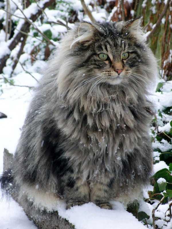 fluffy-cats-kittens (65)