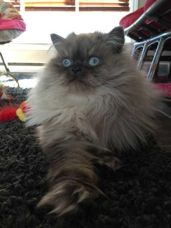 fluffy-cats-kittens (70)