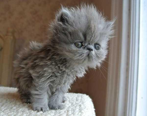 fluffy-cats-kittens (74)