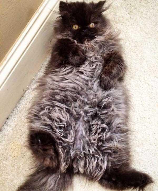 fluffy-cats-kittens (78)