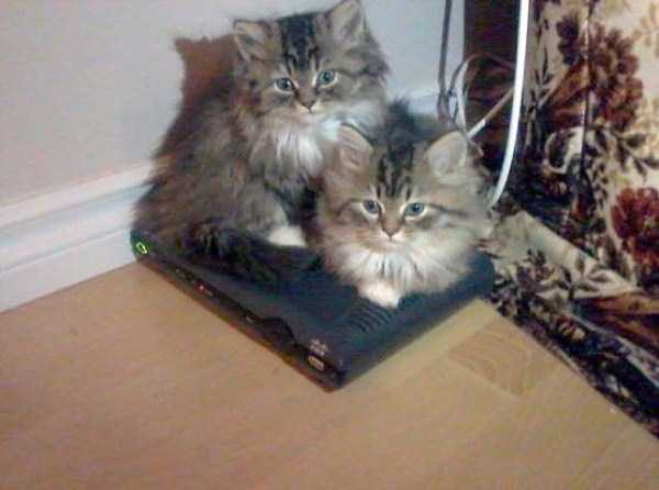 fluffy-cats-kittens (8)