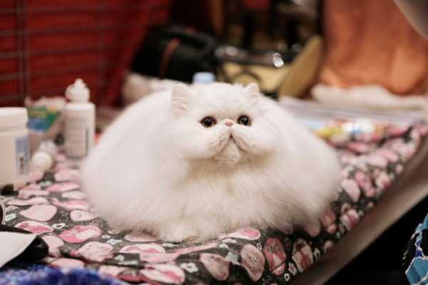 fluffy-cats-kittens (84)