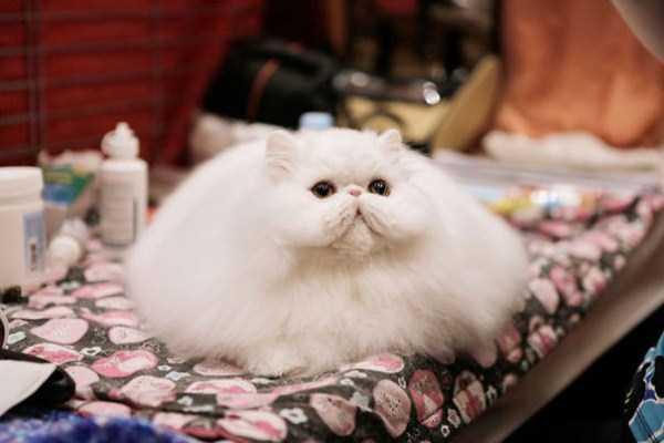 fluffy-cats-kittens (84)