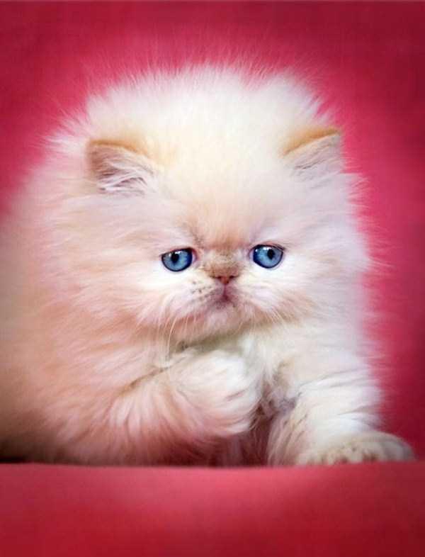 fluffy-cats-kittens (86)