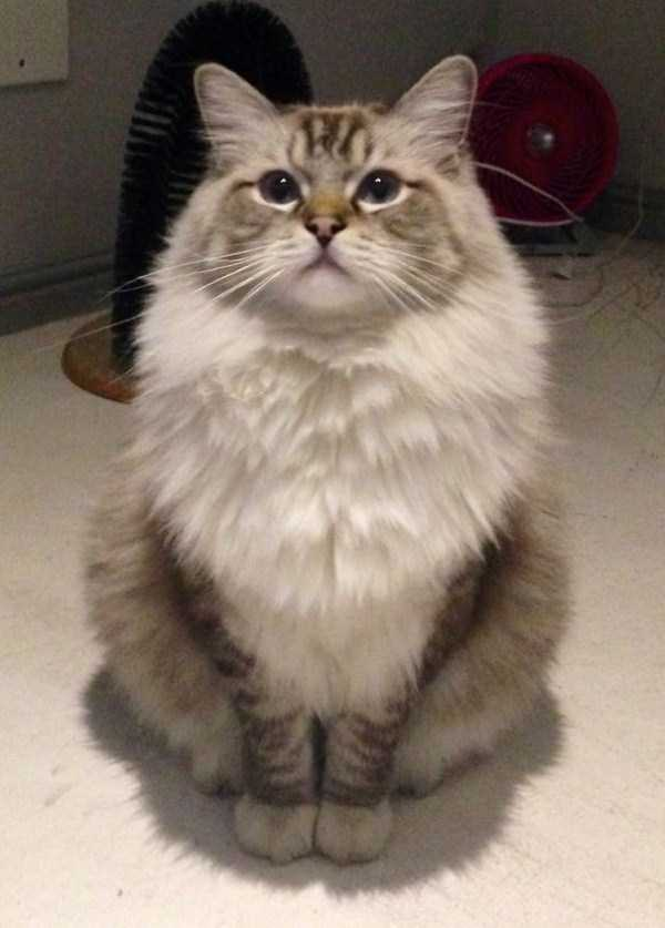 fluffy-cats-kittens (87)