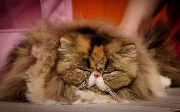 fluffy-cats-kittens (93)