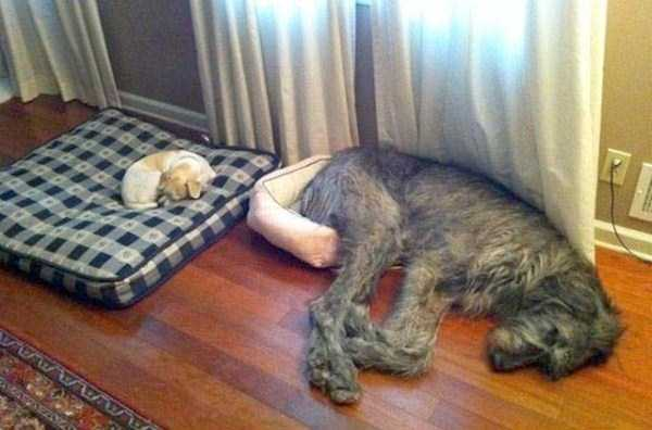 funny-dogs-sleeping-anywhere (9)