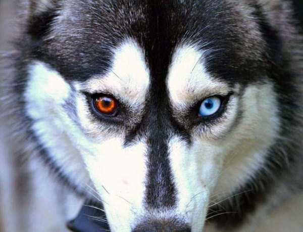 husky-pictures (10)