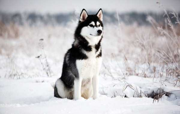 husky-pictures (11)