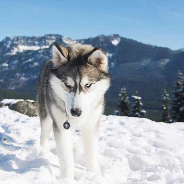 husky-pictures (27)