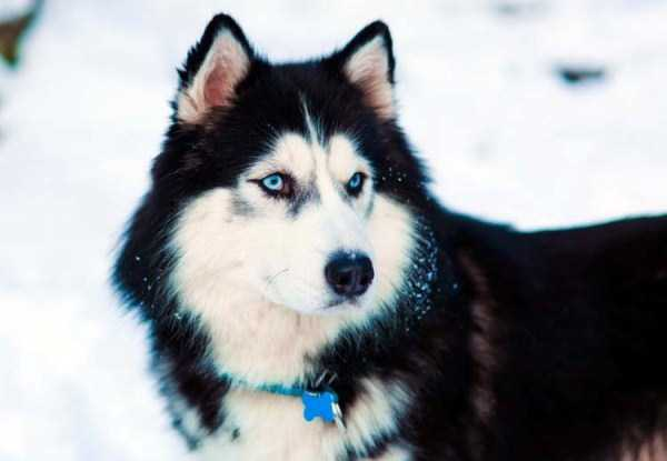 husky-pictures (32)
