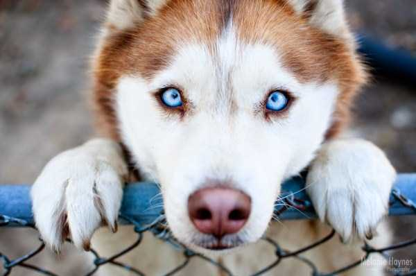 husky-pictures (34)