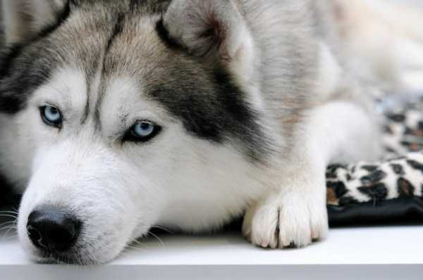 husky-pictures (4)