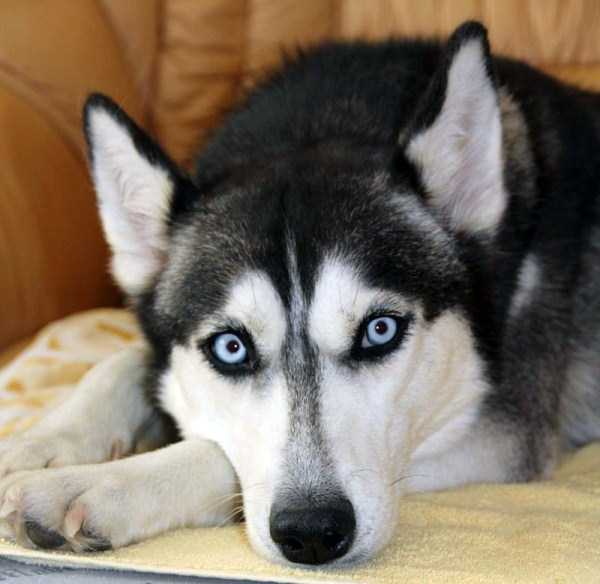 husky-pictures (6)