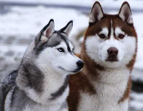 husky-pictures (8)