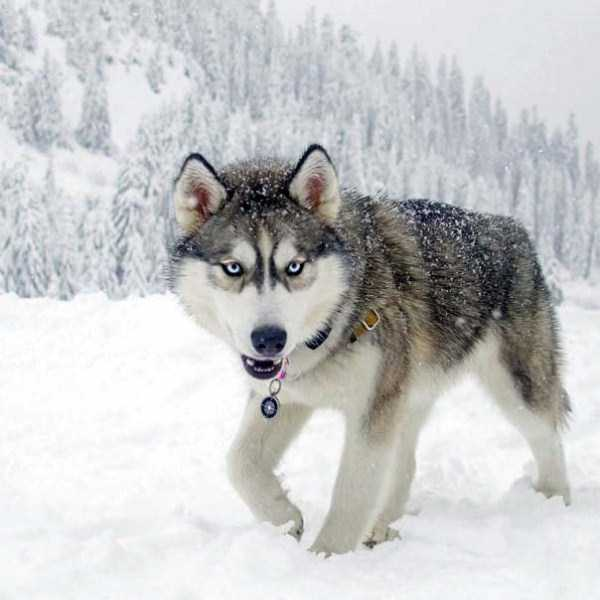 husky-pictures (9)