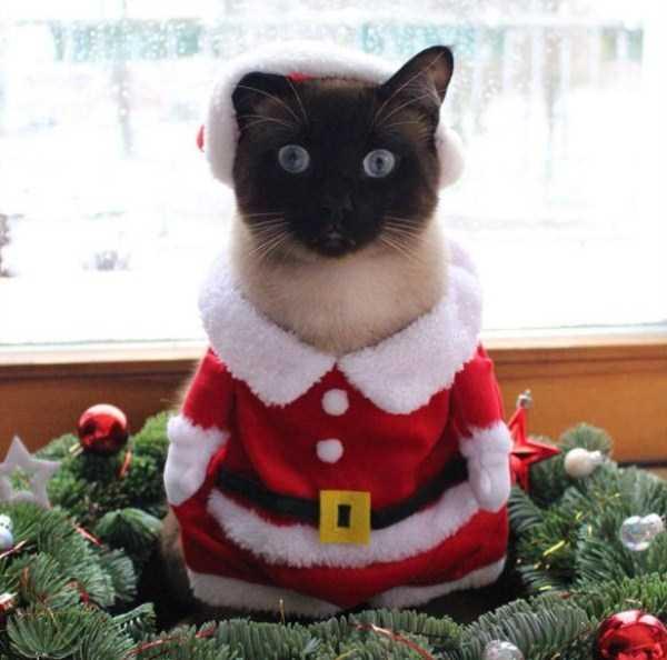 little-lenny-siamese-cat-costumes (1)