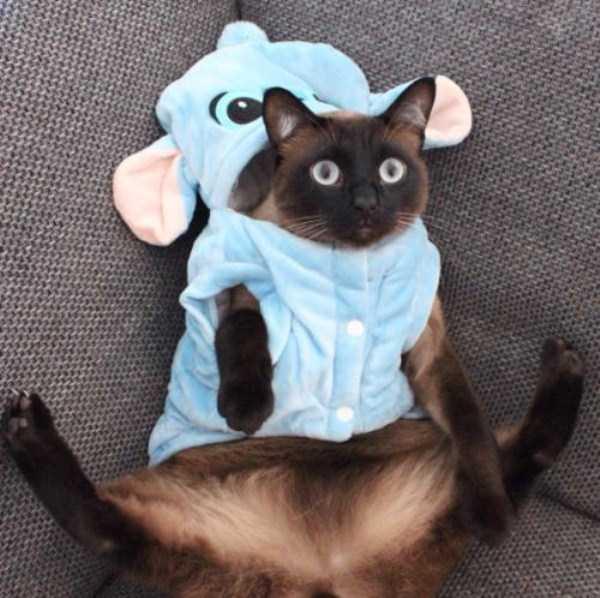 little lenny is one damn cute siamese cat klykercom
