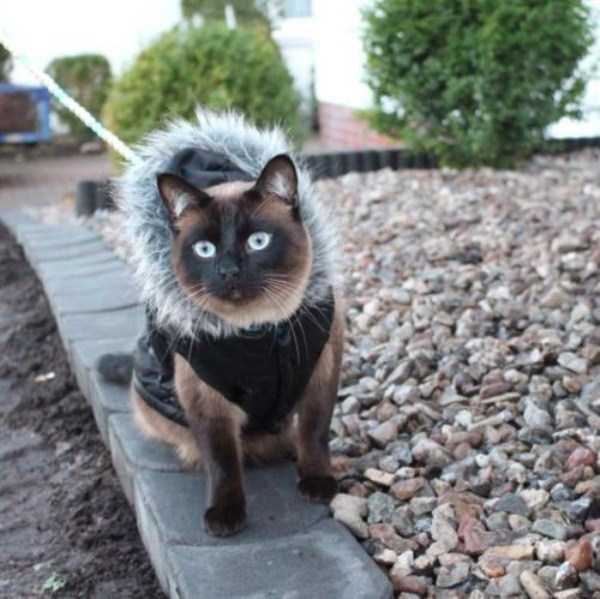 little-lenny-siamese-cat-costumes (23)