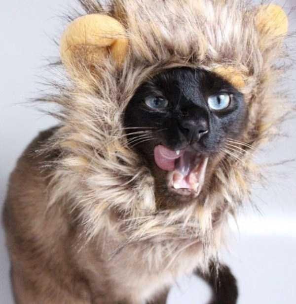 little-lenny-siamese-cat-costumes (8)