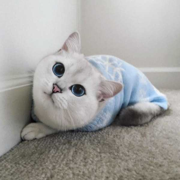 coby-cat-blue-eyes (12)