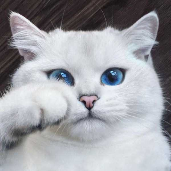 coby-cat-blue-eyes (15)
