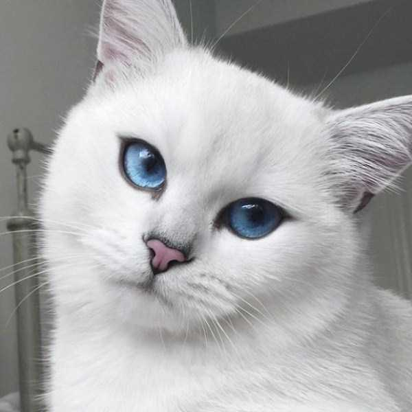 coby-cat-blue-eyes (4)