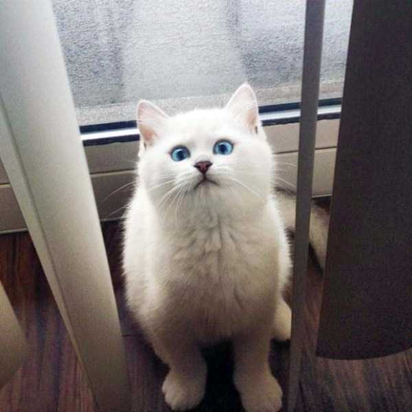 coby-cat-blue-eyes (8)