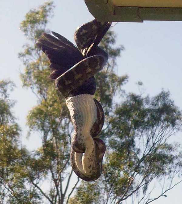 carpet-python-eats-king-parrot (11)