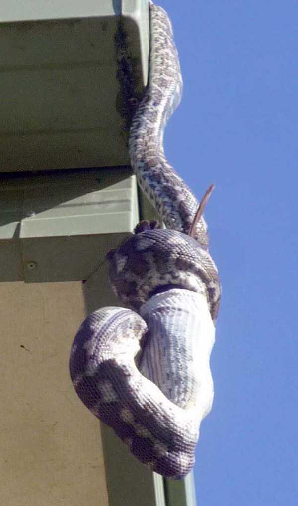 carpet-python-eats-king-parrot (12)