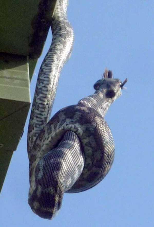 carpet-python-eats-king-parrot (16)